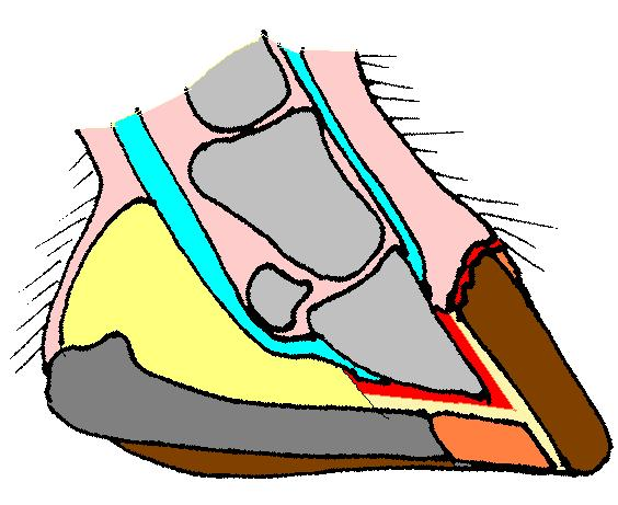 Afbeelding: Doorsnede van de hoef